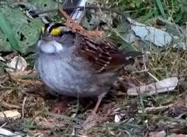 white-throated-sparrow